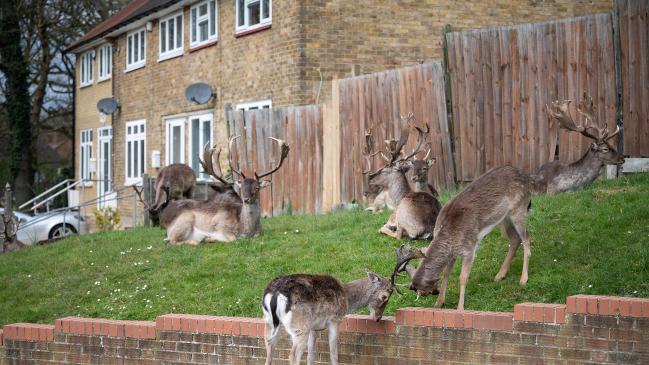 Los ciervos se apoderan de las calles del este de Londres abandonadas por el bloqueo del coronavirus