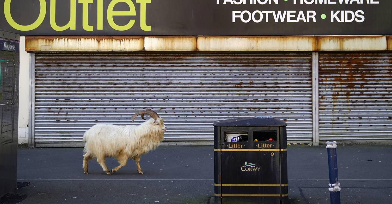 Las cabras del Gran Orme, el coronavirus y la crisis climática.