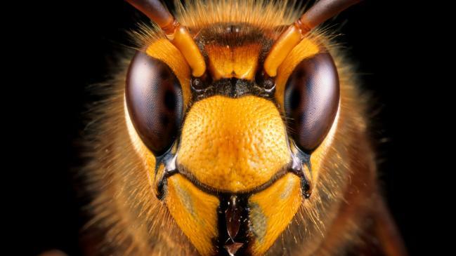 """Los """"avispones asesinos"""" podrían diezmar la población de abejas en los Estados Unidos"""