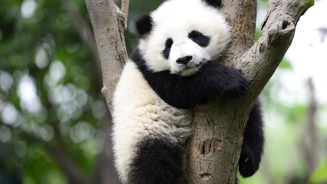 Chengdu Research Base prueba 208 pandas para detectar coronavirus