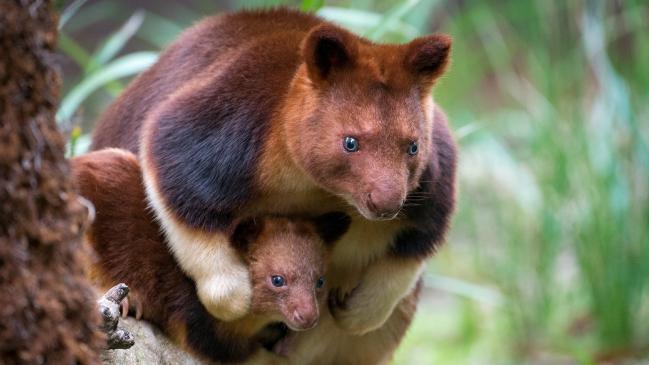 Zoológicos australianos golpeados con baby baby boom: de Melbourne a Perth
