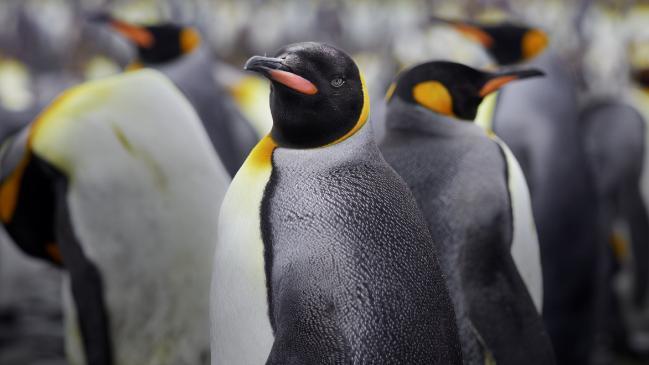 Pingüinos antárticos poo investigadores cuckoo óxido nitroso gas de la risa