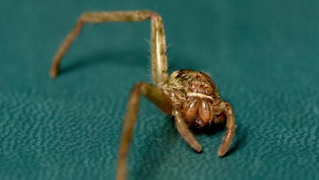 Araña del cazador con dos patas cuidadas de nuevo a la salud