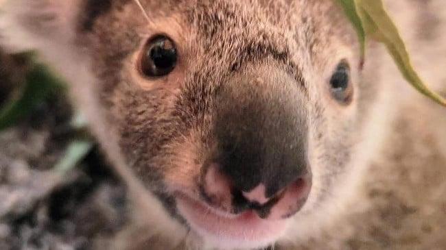 """Se culpa al dueño de """"Irresponsable"""" después de que un perro mata a un koala en un brutal ataque"""
