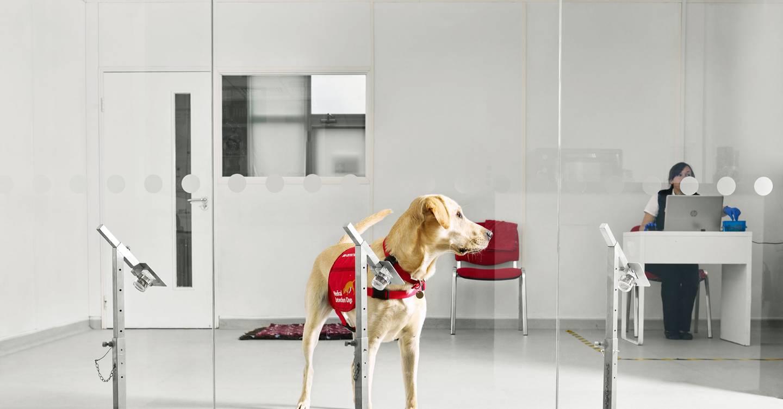 Estos perros están siendo entrenados para olfatear el coronavirus