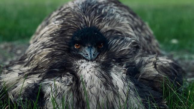 """Historia """"desgarradora"""" detrás de la foto de emu"""