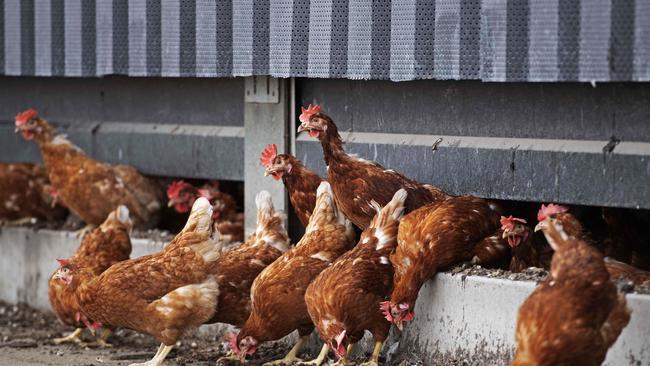 Caso de gripe aviar encontrado en granja victoriana