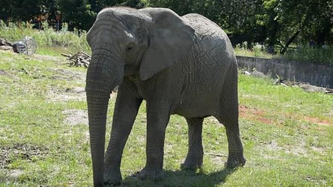 El zoológico de Varsovia probará cannabis en elefantes estresados