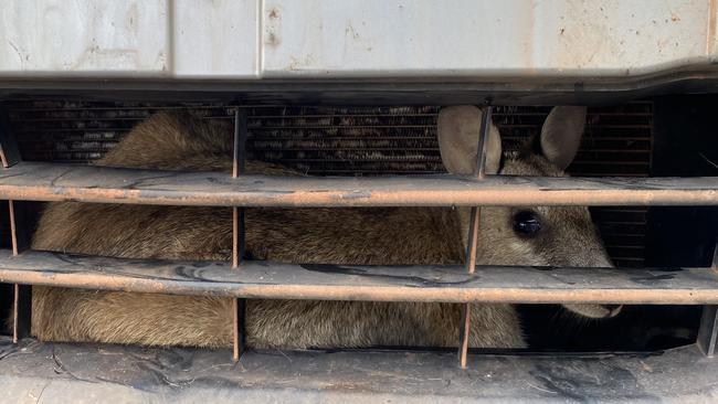 RSPCA Queensland rescata a un wallaby atrapado en una parrilla al norte de Cairns
