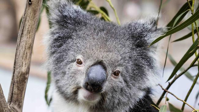 La población de koalas del norte de Nueva Gales del Sur cae tras los incendios forestales de 2019-20