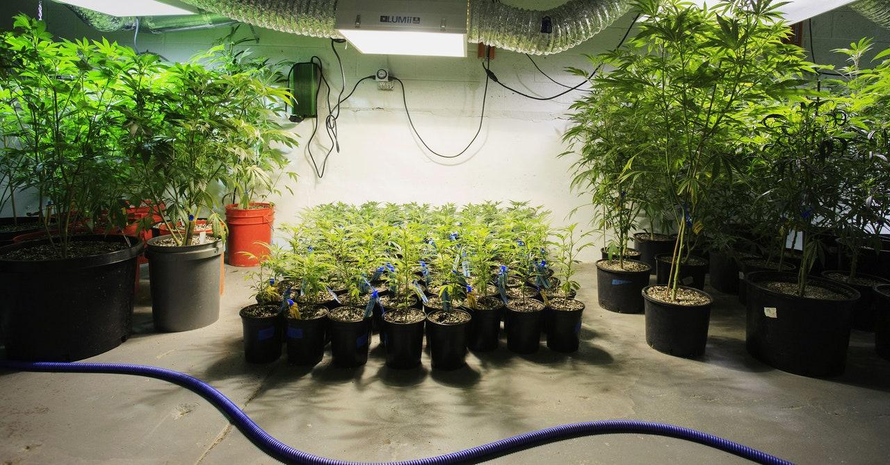 La marihuana cultivada en interiores está arrojando carbono a la atmósfera