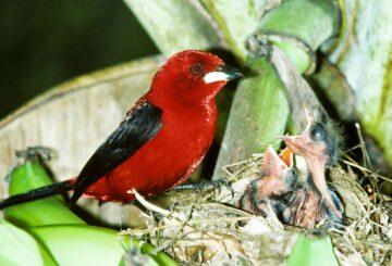 Cómo un pájaro travieso engaña con elegantes estructuras de plumas