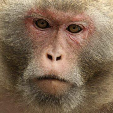 Elon Musk fait jouer à Pong un singe qui dispose d'un implant neuronal. © Ed Jones, AFP Photo