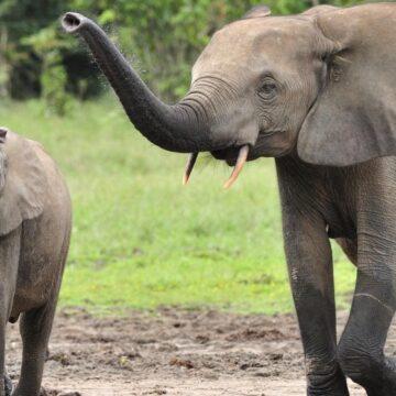 Zimbabue venderá derechos para cazar elefantes en peligro de extinción