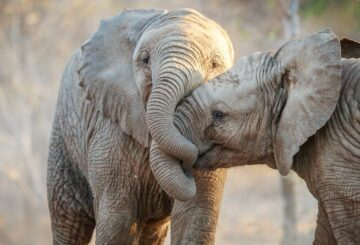 Presunto cazador furtivo asesinado por manada de elefantes en Sudáfrica