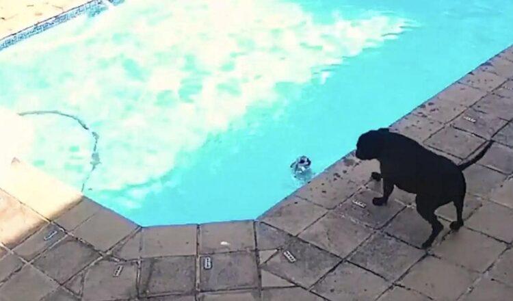 Perro rescata a otro perro de ahogarse en una piscina en Sudáfrica