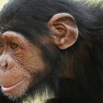 Zoológico de Sydney: Chimpancé Mogli encontrado muerto