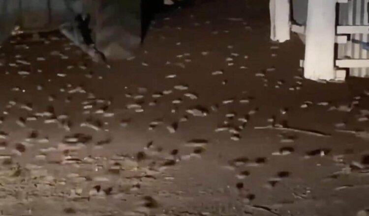 Plaga de ratones en el oeste de Nueva Gales del Sur alcanza un punto álgido