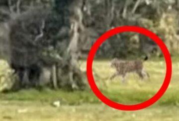 Experto en la campiña inglesa merodea por un gato grande que cree que un lince anda suelto
