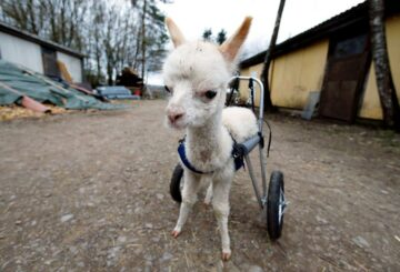 Huérfana y discapacitada, la bebé alpaca vuelve a caminar con su propio juego de ruedas