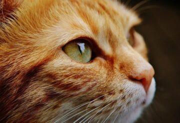 COVID-19: un gato puede infectarse y transmitir el virus