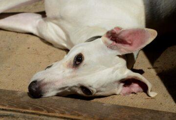Cómo evitar que su cachorro pandémico se vuelva loco mientras se levanta el encierro