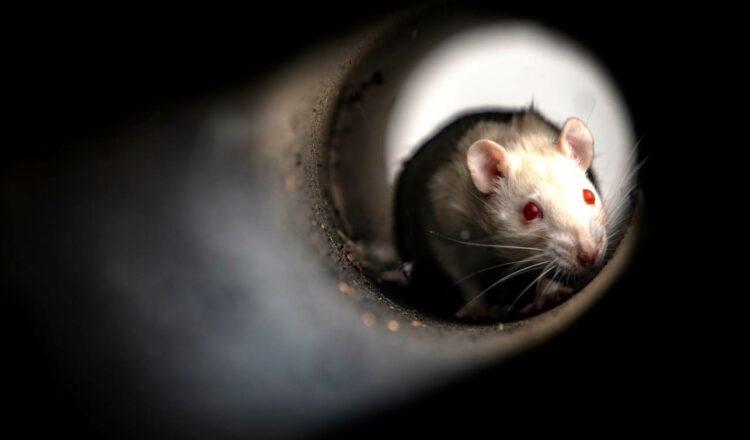 Tu oficina ha sido tomada por un ejército de ratas mutantes.