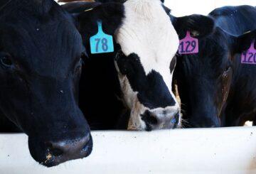 La controvertida búsqueda para hacer que los eructos de las vacas sean menos nocivos