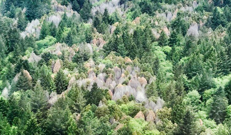 Oregon está quemando árboles para salvarlos