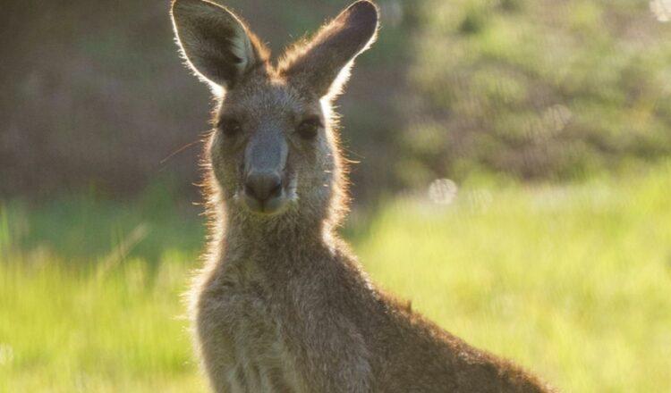 La policía de Nueva Gales del Sur investiga la matanza 'deliberada' de 14 canguros cerca de la bahía de Batemans