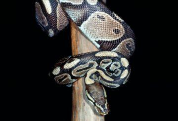Cómo la desaparición de los dinosaurios llevó al surgimiento de serpientes