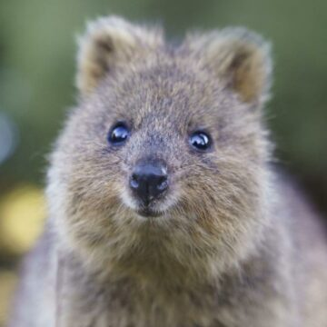 De quokkas a koalas: las 100 nuevas especies prioritarias de Australia